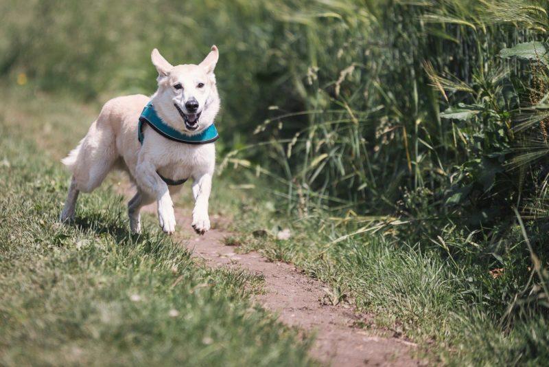 Canicross Laufen Hund Zughundesport Ausruestung Guertel Geschirr Leine Sets